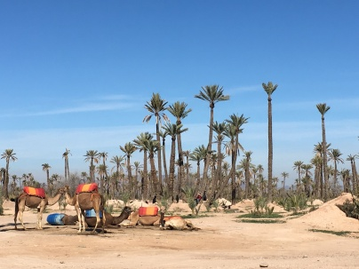 Dromedaries waiting for customers at the Palmeraie, a palm oasis in the northern part of Marrakech.